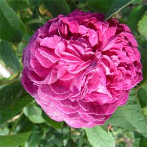rose de resht historische rosen damaszener rosen. Black Bedroom Furniture Sets. Home Design Ideas