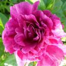 Rosensorte